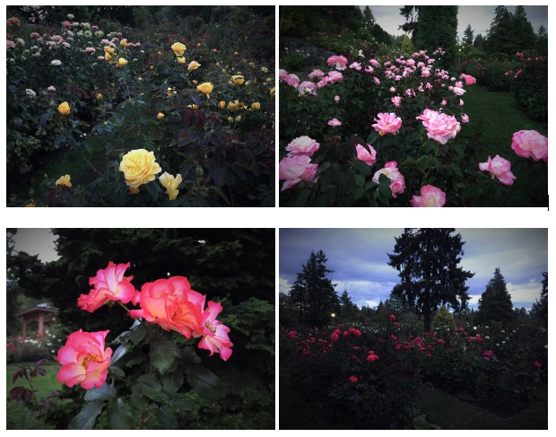 international rose test garden 2