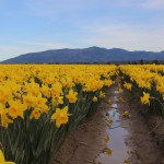 Skagit Valley Daffodils and Tulips